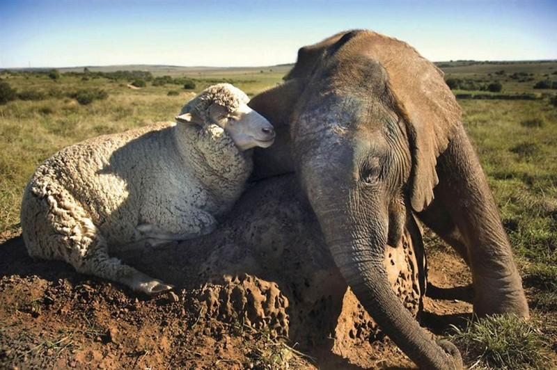 amitié improbable animaux 10