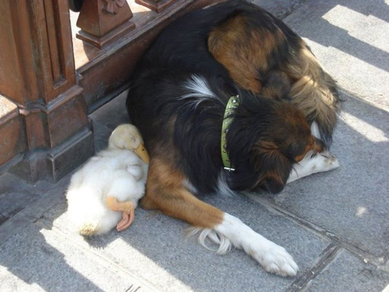 amitié improbable animaux 11