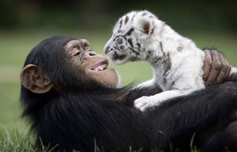 amitié improbable animaux 12