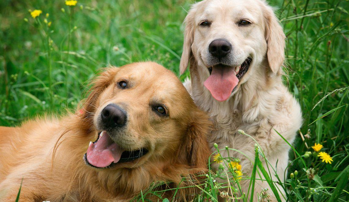 Cohabitation entre deux chiens